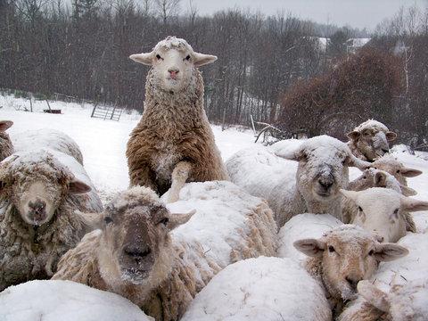 sheep flock in winter