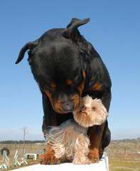 rottweiler et yorkshire terrier