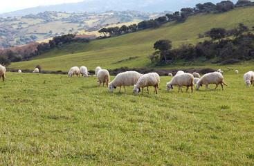 Sardinian Sheep