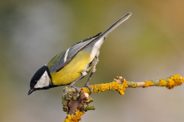 Cinciallegra - Great tit