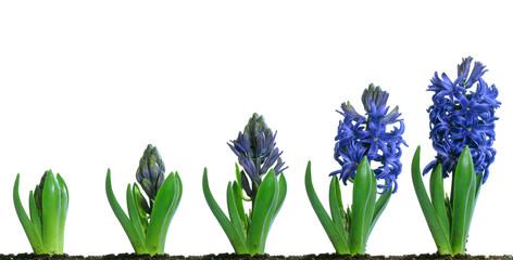 Blue Hyacinth Blooming