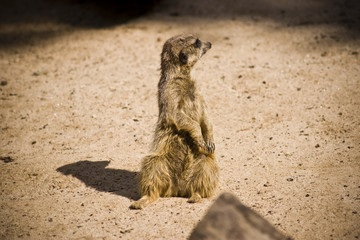 Lost Meerkat
