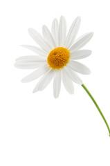 Daisy on white background