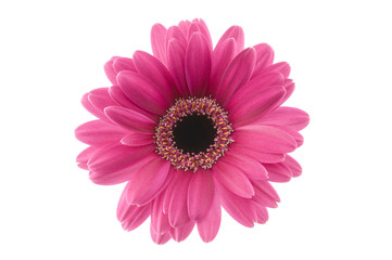 Autocollant pour porte Gerbera long shot of purple gerbera