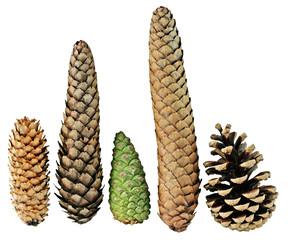 Five Pine Cones
