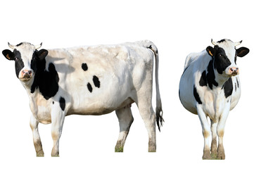 a cow, isolated frontal and profile