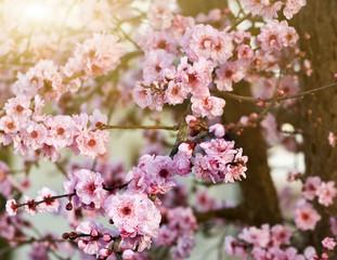 Spring cherry blossoms, shallow DOF