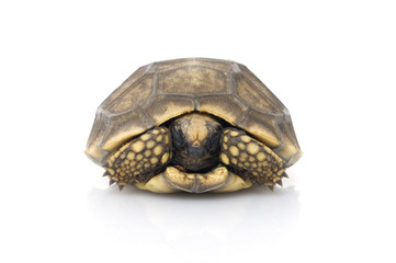 Yellowfoot Tortoise hiding in shell