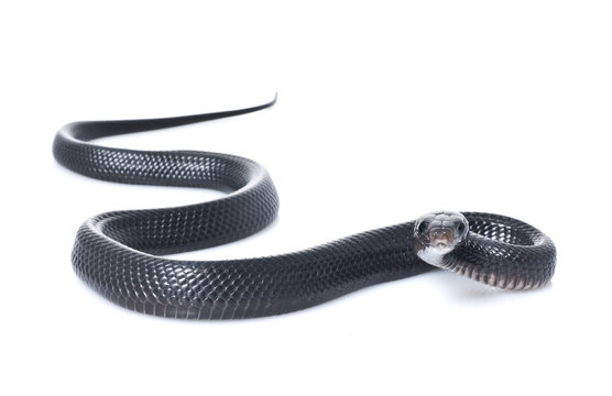 Juvenile Indigo Snake