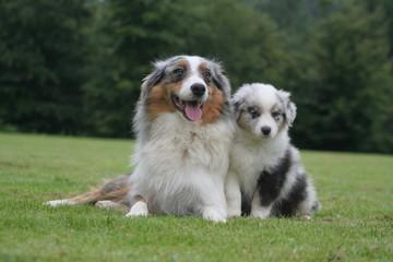 maman et son chiot berger australien allongés tranquille