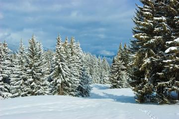 Fir trees on winter mountain