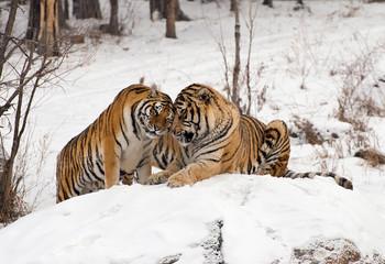 Siberian Tiger Couple