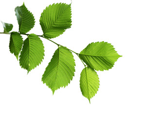 Green Elm Leaves