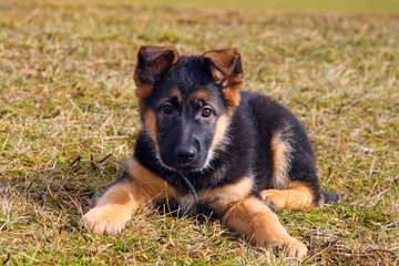 Portrait of a german shepherd puppy