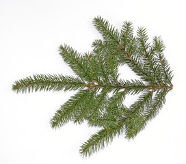 Green spruce twig on the white background