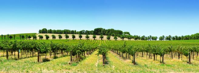 Fototapete - Vineyard Panorama
