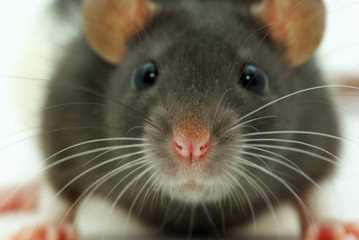 a rat looks at you