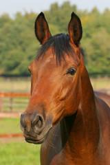 Pferd - Portrait