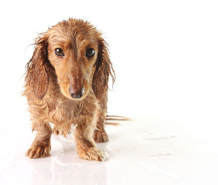 Soaked puppy