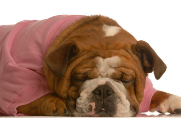 female english bulldog in pink sweater sleeping