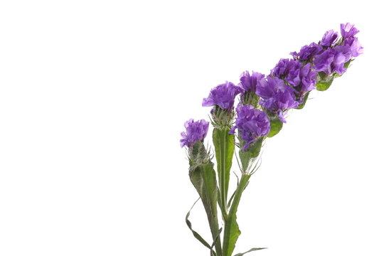 The blue flower.