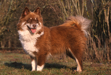 Lapinkoira ou Finnish Lapphund bicolore - race rare