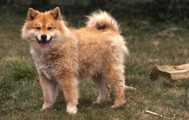 Lapinkoira ou Finnish Lapphund roux - race rare