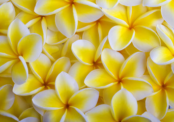 Zelfklevend Fotobehang Frangipani a background of yellow plumeria blossoms from Hawaii