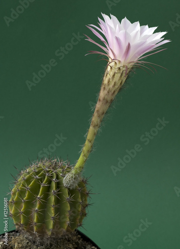 weiß-rosa Blüte eines Kaktus - Kakteenblüte\