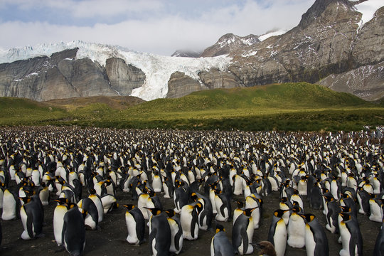 Pinguinkolonie in Südgeorgien