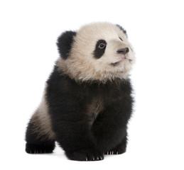 Zelfklevend Fotobehang Panda Giant Panda (6 months)