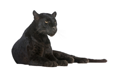 Door stickers Panther Black Leopard (6 years)