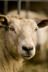 Fototapete - sheep