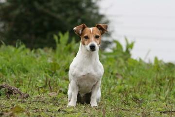 la pose fiere du jack russel terrier à la campagne