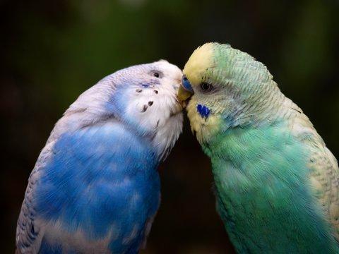 küssende Wellensittiche