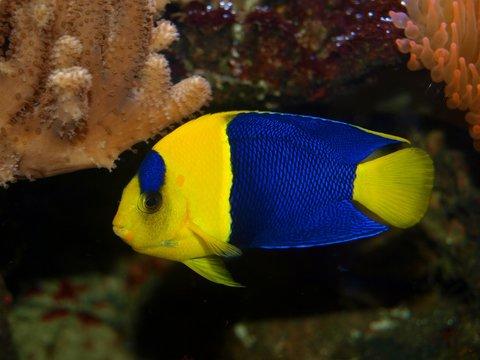Zwergkaiserfisch