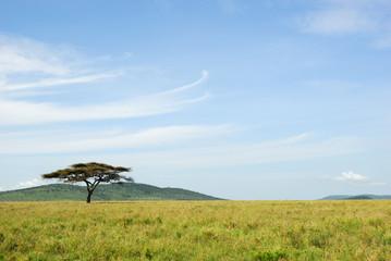 An acacia tree in a savannah