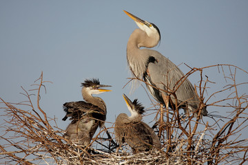 Fotoväggar - Great Blue Heron With Babies