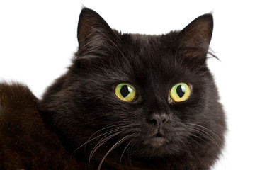 portrait of cute black cat isolated