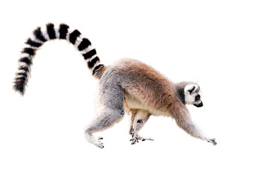 walking lemur isolated on white with clipping path
