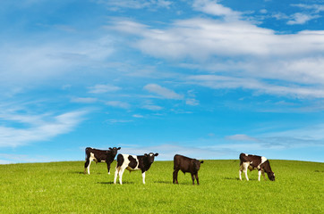 Wall Mural - Grazing calves