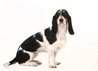 chien courant bernois à poil dur assis de profil tête de face