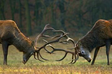 Poster Cerf Red deer fight