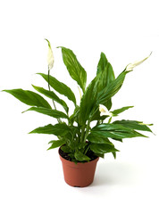 Green plant spatifillum (Women's Happiness)