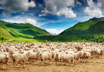 Wall Mural - Herd of sheep