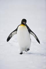Walking King Penguin