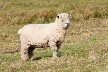 Ryedale sheep