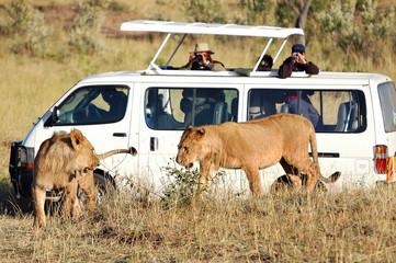 Lioness plays in safari park Masai Mara, Kenya