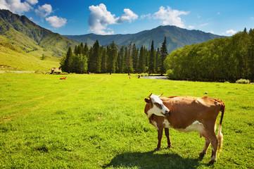 Wall Mural - Grazing cow