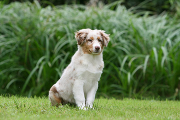 jeune berger australien assis très fier dans le jardin